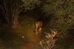 Męski Afrykański lew Przy nocą Fotografia Royalty Free