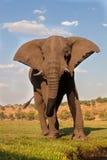 Męski Afrykański słoń, Botswana Obrazy Stock