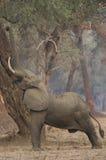 Męski Afrykański słoń dosięga up (Loxodonta africana) Zdjęcie Stock