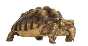 Męski afrykanin pobudzający tortoise, Centrochelys sulcata Obraz Stock