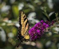 Męski Amerykański Tygrysi Swallowtail motyl Fotografia Royalty Free