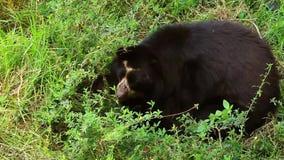 Męski andyjski niedźwiedź zbiory