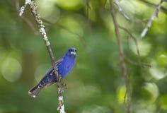 Męski Błękitny Grosbeak Trzyma mocno gałąź Zdjęcie Royalty Free