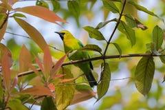 Męski Błękitny Oskrzydlony Leafbird, zielony ptak z kolor żółty głową, czarny fa Fotografia Stock