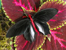 Męski Batwing motyl z otwartymi skrzydłami Fotografia Royalty Free