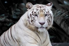 Męski biały tygrys Obraz Royalty Free