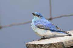 Męski bluebird na ogrodzenie drucie obraz royalty free