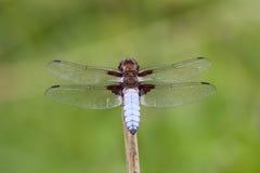 Męski Bodied łowca (Libellula depressa) zdjęcia stock
