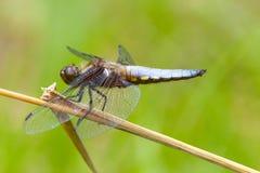 Męski Bodied łowcy dragonfly na trzonie zdjęcia royalty free