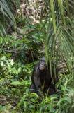 Męski Bonobo w naturalnym siedlisku zielony środowisk naturalnych Bonobo (niecki paniscus d Fotografia Royalty Free