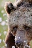 Męski brown niedźwiedź Obrazy Royalty Free