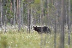 Męski brown niedźwiedź w lasu krajobrazie Zdjęcia Royalty Free