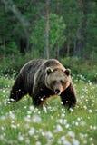 Męski brown niedźwiedzia chodzić Obraz Royalty Free