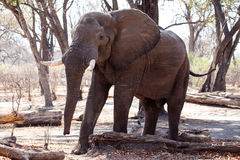 Męski byka słoń - Chobe N P Botswana, Afryka Obraz Stock