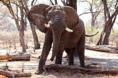 Męski byka słoń - Chobe N P Botswana, Afryka Fotografia Stock