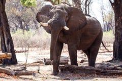 Męski byka słoń - Chobe N P Botswana, Afryka Obrazy Royalty Free