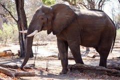 Męski byka słoń - Chobe N P Botswana, Afryka Zdjęcie Royalty Free