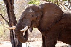 Męski byka słoń - Chobe N P Botswana, Afryka Obrazy Stock