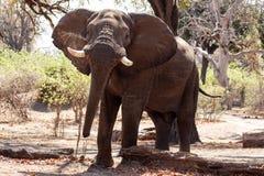 Męski byka słoń - Chobe N P Botswana, Afryka Zdjęcia Royalty Free