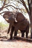 Męski byka słoń - Chobe N P Botswana, Afryka Fotografia Royalty Free