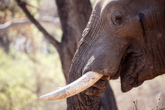 Męski byka słoń - Chobe N P Botswana, Afryka Obraz Royalty Free