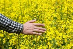 Męski chłop w polu żółty kwitnący canola, i muskający kwiatu zbliżenie Fotografia Stock