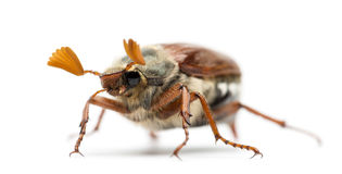 Męski chrząszcz, Melolontha melolontha fotografia stock