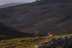 Męski czerwonego rogacza jeleń w Szkockich średniogórzach obrazy royalty free