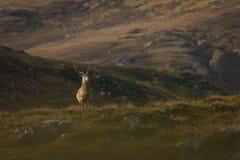 Męski czerwonego rogacza jeleń w Szkockich średniogórzach zdjęcie stock