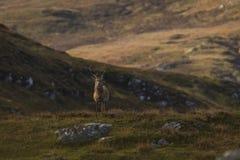 Męski czerwonego rogacza jeleń w Szkockich średniogórzach obraz royalty free