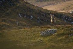 Męski czerwonego rogacza jeleń w Szkockich średniogórzach obraz stock