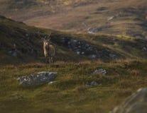 Męski czerwonego rogacza jeleń w Szkockich średniogórzach zdjęcia stock