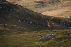 Męski czerwonego rogacza jeleń w Szkockich średniogórzach fotografia royalty free