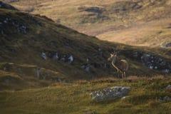 Męski czerwonego rogacza jeleń w Szkockich średniogórzach zdjęcia royalty free