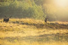 Męski czerwonego rogacza jelenia cervus elaphus, rutting podczas zmierzchu zdjęcia stock