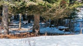 Męski czerwonego rogacza obsiadanie pod drzewem w śnieżnym lesie Zdjęcie Stock