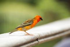 Męski czerwony fody Foudia madagascariensis, ptak, Seychelles i Madagascar zdjęcie royalty free