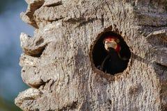 Męski czubaty dzięcioła strzeżenia drzewa gniazdeczko Obraz Stock