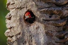 Męski czubaty dzięcioła zerkanie z drzewa gniazdeczka obrazy royalty free