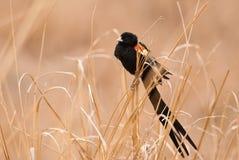 Męski długoogonkowy widowbird Fotografia Royalty Free