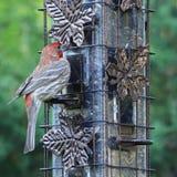 Męski domowego finch Carpodacus mexicanus z czerwoną twarzą i kuper przy ptasim dozownikiem obraz stock