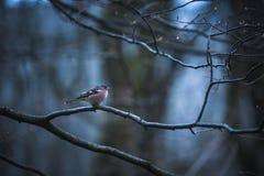 Męski Domowy Finch na lodowatej gałąź na drzewie Obraz Royalty Free