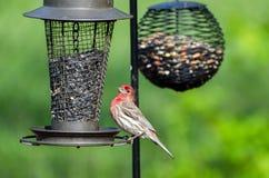 Męski Domowy Finch przy ptasimi dozownikami zdjęcie stock