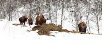 Męski dorosły żubr, cztery jednostki Altai żubra Lęgowy miejsce zdjęcia stock