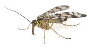 Męski dorosły scorpionfly, Panorpa odizolowywał na białym tle obrazy stock