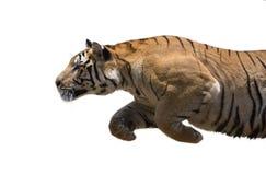 Męski dziki tygrys ładuje przeciw białemu tłu Obrazy Royalty Free