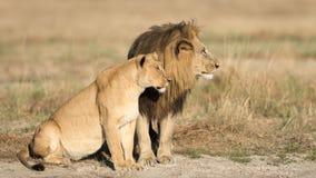 Męski & Żeński lew, Botswana Zdjęcia Stock