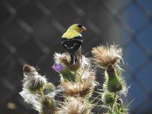 Męski Finch umieszczający na osetach fotografia stock