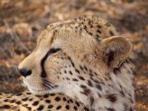 Męski geparda opierać Zdjęcie Stock