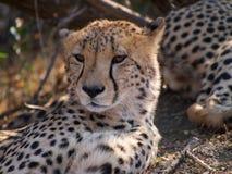 Męski geparda opierać Obraz Stock